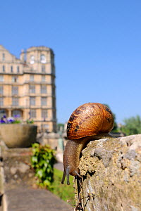 Common snail (Helix aspersa) crawling on stone flowerpot, with city buildings in the background, Bath, England, UK, April  -  Nick Upton / 2020VISION