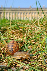 Common snail (Helix aspersa) crawling in lawn grass in front of the Royal Crescent, Bath, England, UK, April  -  Nick Upton / 2020VISION