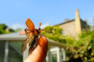 Common cockchafer / Maybug (Melolontha melolontha), taking off from human finger in a garden, with house in the background, Wiltshire, England, UK, May . Property released. Did you know? In the Middle...  -  Nick Upton / 2020VISION