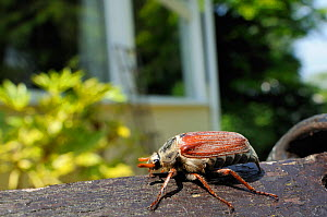 Common cockchafer / Maybug (Melolontha melolontha), crawling along a garden bench, with house in the background, Wiltshire, England, UK, May . Property released.  -  Nick Upton / 2020VISION