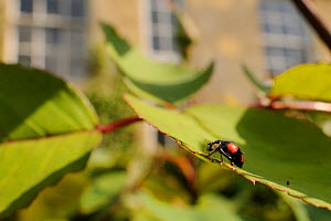 Harlequin / Multicoloured asian lady beetle (Harmonia axyridis - spectabilis form) on Rose bush (Rosa sp.) in garden, Wiltshire, England, UK, May . Property released.  -  Nick Upton / 2020VISION