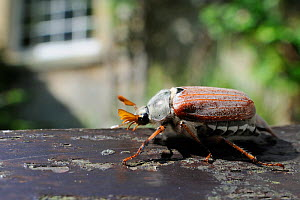 Common cockchafer / Maybug (Melolontha melolontha), crawling on garden bench with house in background, Wiltshire, England, UK, May . Property released.  -  Nick Upton / 2020VISION