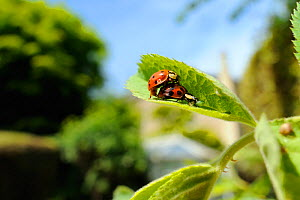 Harlequin / Multicoloured asian lady beetles (Harmonia axyridis succinea) mating on Rose (Rosa sp.) leaf in a garden, as the female eats a Rose aphid (Macrosiphum rosae), Wiltshire, England, UK, May .... - Nick Upton / 2020VISION