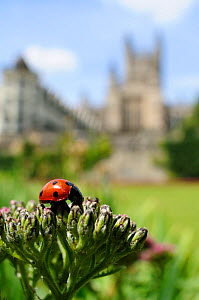 Seven-spot Ladybird (Coccinella septempunctata) foraging on flowerbuds, Parade gardens park, with Bath Abbey in the backgrond, Bath, England, UK, June  -  Nick Upton / 2020VISION