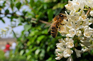 Honey bee (Apis mellifera) foraging on Common privet flowers (Ligustrum vulgare), with person in the background, Royal Crescent, Bath, England, UK, June  -  Nick Upton / 2020VISION