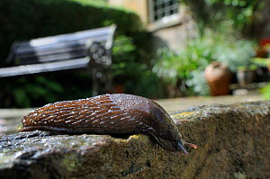 Black slug (Arion ater), brown form, crawling over patio after rain, with house and garden bench in the background, Wiltshire, UK, July . Property released. - Nick Upton / 2020VISION