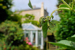 Group of Large rose sawfly larvae (Arge pagana) feeding on young Rose leaves (Rosa sp.) in garden, Wiltshire, England, UK, August . Property released.  -  Nick Upton / 2020VISION