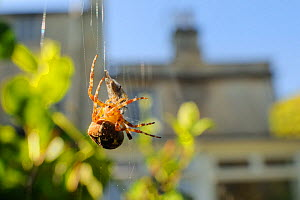 Female Garden spider (Araneus diadematus) wrapping up fly prey with silk on web spun in garden, with house in the background, Wiltshire England, UK, September . Property released. - Nick Upton / 2020VISION