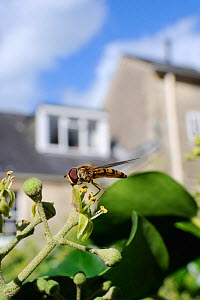 Marmalade hoverfly (Episyrphus balteatus) feeding on Ivy flower (Hedera helix) in garden, with house in background, Wiltshire, England, UK, October . Property released. - Nick Upton / 2020VISION