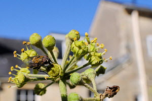 Cluster fly (Pollenia sp.) feeding on Ivy flower (Hedera helix) in garden, with house in background, Wiltshire, England, UK, October . Property released. - Nick Upton / 2020VISION