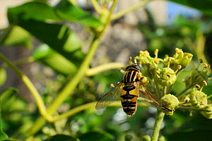 Sun fly / Striped hoverfly (Helophilus pendulus), feeding on Ivy flower (Hedera helix) in garden, with house in background, Wiltshire, England, UK, October . Property released. - Nick Upton / 2020VISION