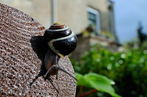 White-lipped snail (Cepaea hortensis) crawling over wooden hand rail in garden, with house in background, Wiltshire, England, UK, October . Property released.  -  Nick Upton / 2020VISION