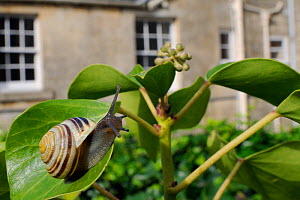 White-lipped snail (Cepaea hortensis) crawling over Ivy leaf (Hedera helix) in garden, with house in background, Wiltshire, England, UK, October . Property released. Did you know? Snails sometimes mov...  -  Nick Upton / 2020VISION