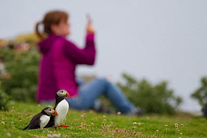 Two puffins (Fratercula arctica) with tourist in the background holding a camera phone, Shetland Isles, Scotland, UK, July 2011 - Peter Cairns / 2020VISION