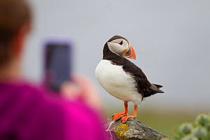 Puffin (Fratercula arctica) standing on a rock, posing for a tourist holding a camera, Shetland Isles, Scotland, UK, July 2011. 2020VISION Book Plate. Did you know? Although the largest colonies of pu...  -  Peter Cairns / 2020VISION