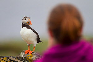 Tourist watching a Puffin (Fratercula arctica), Shetland Isles, Scotland, UK, July 2011. Did you know? When flying a Puffin can flap its wings 400 times a minute.  -  Peter Cairns / 2020VISION