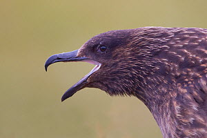 Great skua (Stercorarius skua), Shetland Isles, Scotland, UK, July - Peter Cairns / 2020VISION