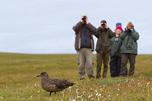 Birdwatchers watching a Great skua (Stercorarius skua), Shetland Isles, Scotland, UK, July 2011 - Peter Cairns / 2020VISION