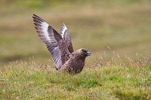 Great skua (Stercorarius skua) displaying, Shetland Isles, Scotland, UK, July - Peter Cairns / 2020VISION