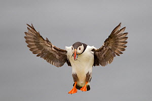 Puffin (Fratercula arctica) coming in to land, with beak full of sand eels, Shetland Isles, Scotland, UK, July - Peter Cairns / 2020VISION
