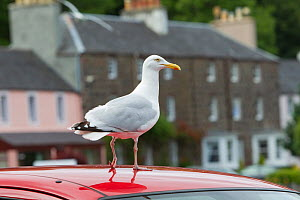 Herring gull (Larus argentatus) standing on the roof of a car, Portree, Skye, Scotland, UK, June - Peter Cairns / 2020VISION