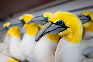 Gannet soft toy merchandise on sale at Scottish Seabird Centre, North Berwick, showing economic benefits of presence of Bass Rock, Scotland, UK, August - Peter Cairns / 2020VISION