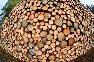 Cross section of recently felled trees as part of thinning process, Glenfeshie, Cairngorms NP, Scotland, UK, October 2011  -  Peter Cairns / 2020VISION