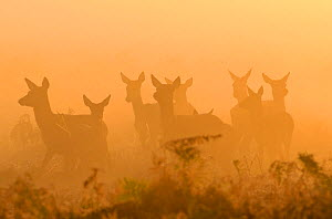 Red deer (Cervus elaphus) hinds in mist at sunrise, Bushy Park, London, UK, October.  -  Terry Whittaker / 2020VISION