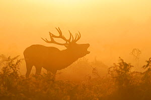 Red deer (Cervus elaphus) stag bellowing in mist at sunrise, rutting season, Bushy Park, London, UK, October. 2020VISION Exhibition. 2020VISION Book Plate.  -  Terry Whittaker / 2020VISION