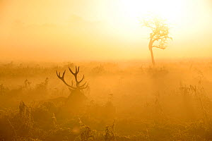 Red deer (Cervus elaphus) stag lying down in mist at sunrise, Bushy Park, London, UK, October  -  Terry Whittaker / 2020VISION