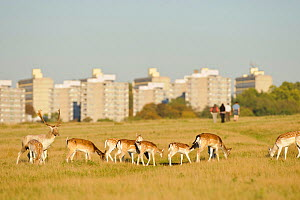 Fallow deer (Dama dama) grazing, Roehampton high rise flats in background, Richmond Park, London, UK, October  -  Terry Whittaker / 2020VISION