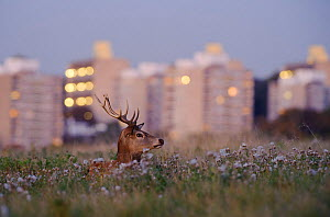 Red deer (Cervus elaphus) buck lying amongst thistles, lights of Roehampton Flats in background, Richmond Park, London, UK, October  -  Terry Whittaker / 2020VISION