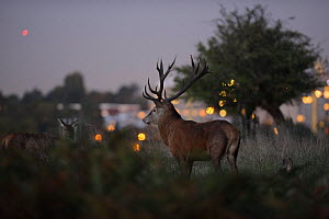 Red deer (Cervus elaphus) at dusk, lights of Roehampton Flats in background, Richmond Park, London, UK, October  -  Terry Whittaker / 2020VISION