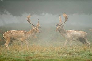 Two Fallow deer (Dama dama) bucks during fight, rutting season, Richmond Park, London, UK, October (This image may be licensed either as rights managed or royalty free.) - Terry Whittaker / 2020VISION