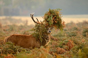 Red deer (Cervus elaphus) stag thrashing bracken, rutting season, Bushy Park, London, UK, October. 2020VISION Book Plate. - Terry Whittaker / 2020VISION