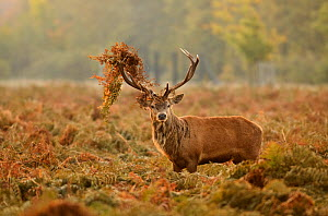 Red deer (Cervus elaphus) stag thrashing bracken, rutting season, Bushy Park, London, UK, October  -  Terry Whittaker / 2020VISION