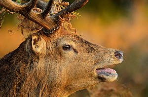 Red deer (Cervus elaphus) stag portrait, bellowing with bracken in antlers, rutting season, Bushy Park, London, UK, October - Terry Whittaker / 2020VISION