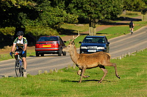 Red deer (Cervus elaphus) about to cross busy road, Richmond Park, London, UK, September  -  Terry Whittaker / 2020VISION