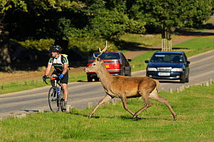 Red deer (Cervus elaphus) about to cross busy road, Richmond Park, London, UK, September. Did you know? Richmond Park is famous for its red deer, but it also has a thriving population of fallow deer.  -  Terry Whittaker / 2020VISION