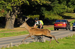Red deer (Cervus elaphus) crossing busy road, Richmond Park, London, UK, September  -  Terry Whittaker / 2020VISION