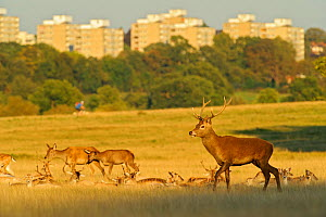 Red deer (Cervus elaphus) in Richmond Park with Roehampton Flats in background, London, UK, September  -  Terry Whittaker / 2020VISION