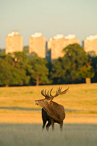 Red deer (Cervus elaphus) stag bellowing, rutting season, Roehampton Flats in background, Richmond Park, London, UK, September  -  Terry Whittaker / 2020VISION
