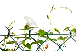 Hedge bindweed (Calystegia sepium), August meetyourneighbours.net project  -  MYN / Niall Benvie