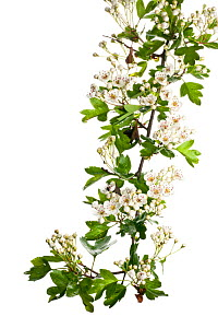 Hawthorn (Crataegus monogyna) in flower, Scotland, UK, May meetyourneighbours.net project  -  Niall Benvie / 2020VISION