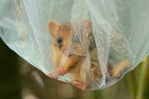 Hazel dormouse (Muscardinus avellanarius), Kent, UK. Members of Kent Mammal Group conduct monthly dormouse survey. Dormice being held in plastic bags during processing, September 2011, Model released. - Terry Whittaker / 2020VISION