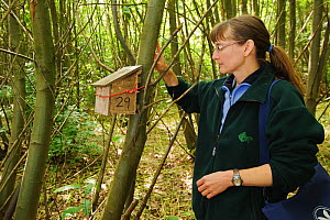 Hazel dormouse (Muscardinus avellanarius), Kent, UK. Members of Kent Mammal Group conduct monthly survey. Hazel Ryan checks dormouse nest box in coppiced woodland, June 2011. Model released.  -  Terry Whittaker / 2020VISION