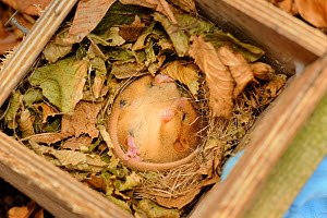 Hazel dormouse (Muscardinus avellanarius), Kent, UK. Members of Kent Mammal Group conduct monthly dormouse survey, torpid dormouse hibernating in nest box in coppiced woodland, November 2011 - Terry Whittaker / 2020VISION