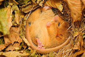 Hazel dormouse (Muscardinus avellanarius), Kent, UK. Members of Kent Mammal Group conduct monthly dormouse survey, torpid dormouse hibernating in nest box in coppiced woodland, November 2011. Did you...  -  Terry Whittaker / 2020VISION