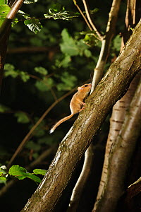 Hazel dormouse (Muscardinus avellanarius) running up branch of coppiced hazel tree, Kent, UK. Photographed in wild under licence with remote camera (camera trap), September - Terry Whittaker / 2020VISION