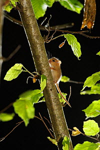 Hazel dormouse (Muscardinus avellanarius) in coppiced hazel tree, Kent, UK. Photographed in wild under licence with remote camera (camera trap), September - Terry Whittaker / 2020VISION
